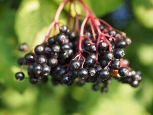fodmap-foodies-zwarte-bessen