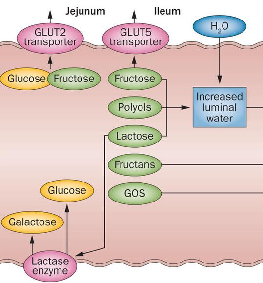 fructose glucose opname in de darm